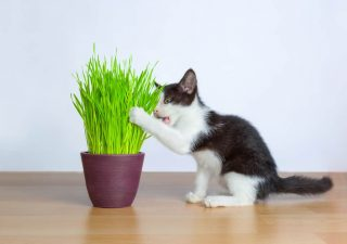 wheatgrass for pets